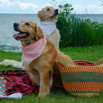 Golden Rescue Annual Picnic