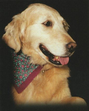 Nora the golden retreiver wearing a bandana