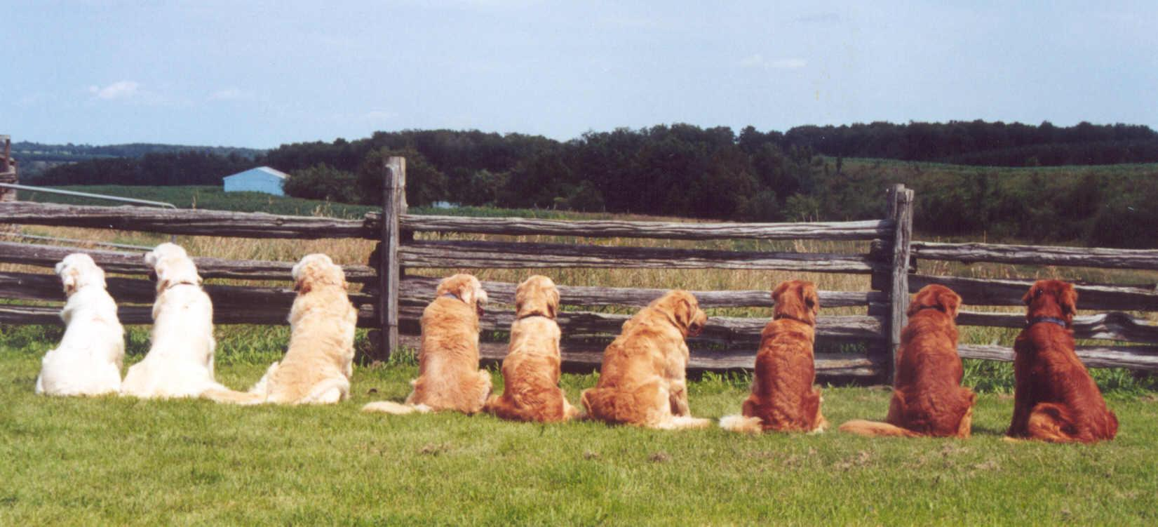 Golden's sitting with a range of colours from light to dark