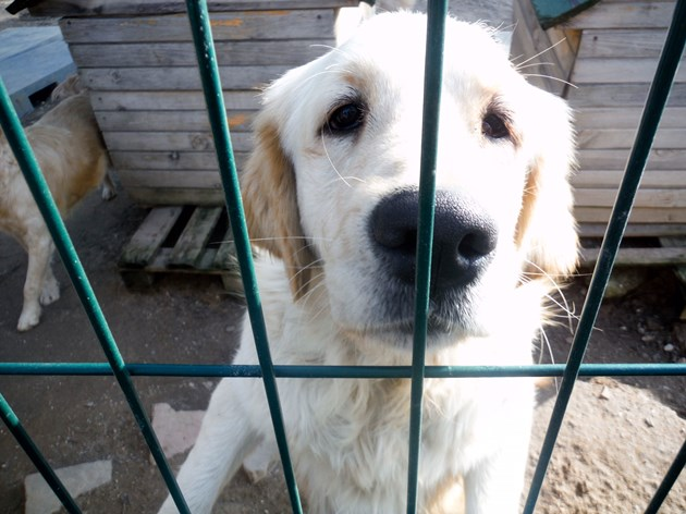 Istanbul golden retrievers finding new homes in Durham and beyond