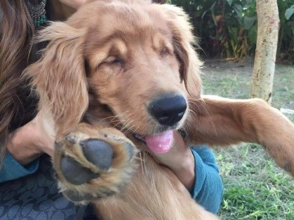 Journey To Joy – Rescued Golden Retrievers, Including A Three-Month Old Blind Puppy, Arriving Monday, November 26th At Pearson Airport Direct From Cairo, Egypt