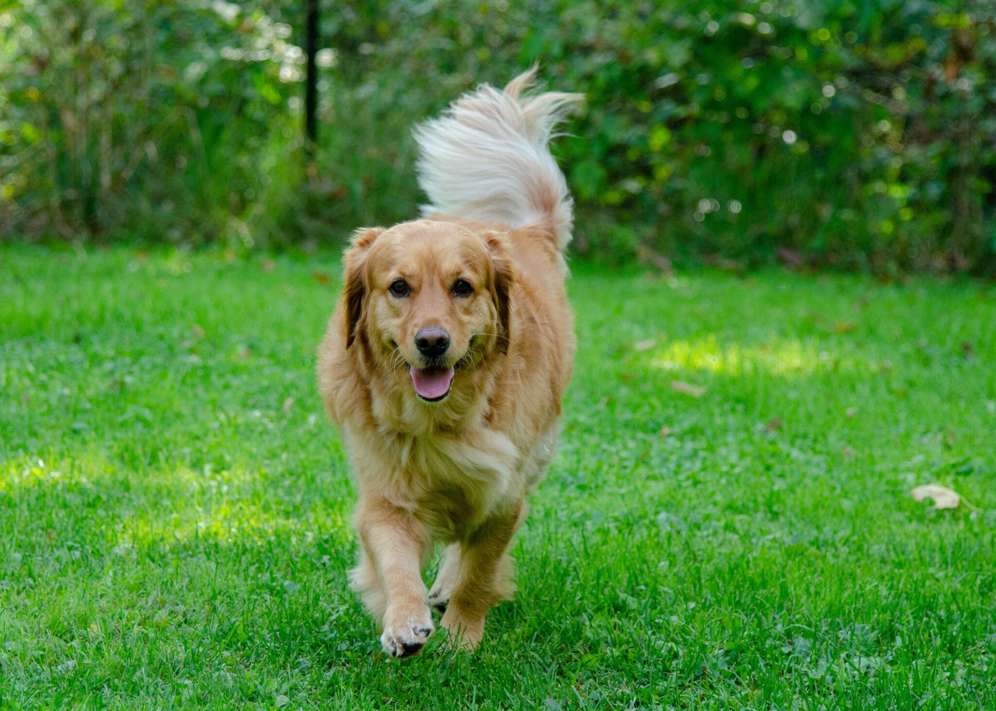 The First Annual WORLDWIDE Golden Retriever Believer's Cabin Fever Reliever